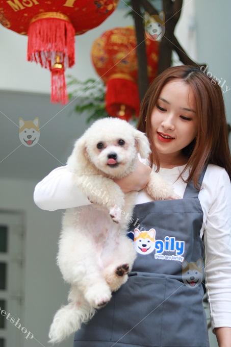 Bán chó Poodle giá rẻ tại các cửa hàng của Dogily Pet Shop ở Tphcm, Hà Nội.