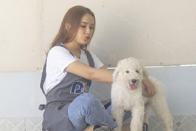 Bán chó Poodle Standard màu trắng 2,5 tháng tuổi tại Dogily.