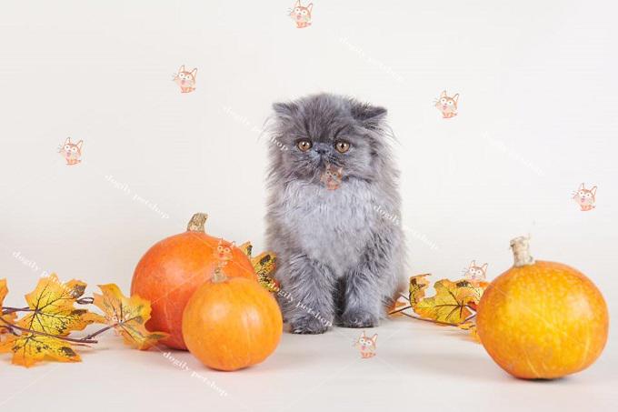 Bán mèo 34 màu xám xanh 2 tháng tuổi của trại mèo Dogily Cattery.