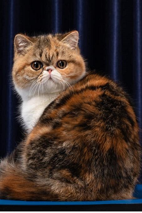 Persian Cats và Exotic Shorthair đều có bộ lông với màu sắc rất đa dạng, phong phú.