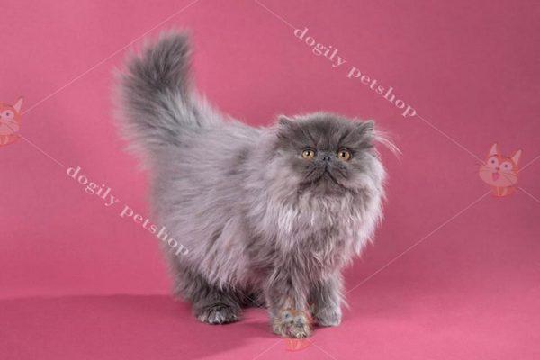 Mèo Ba Tư giá bao nhiêu?