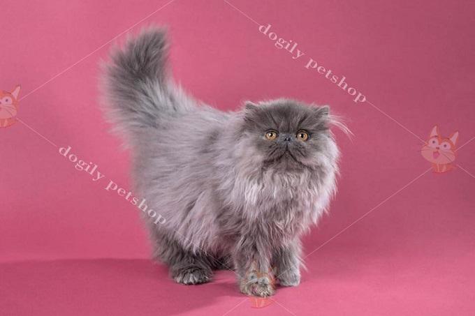 Cân nhắc về tiền bạc khi mua mèo Ba Tư 34