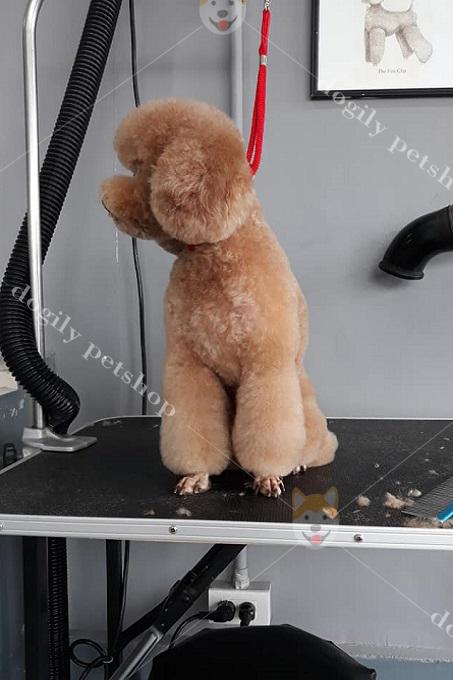 Bạn nên lưu ý, chăm sóc bộ lông chó Poodle thường xuyên.