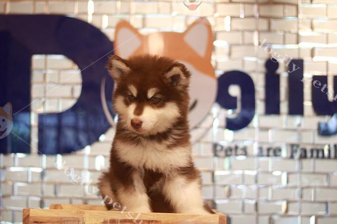 Khách hàng mua chó Alaska tại Dogily Petshop có thể hoàn toàn an tâm về chế độ bảo hành, chăm sóc cả Boss và Sen từ Dogily Petshop