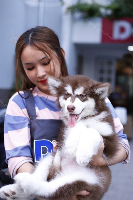 Chó Alaska giá bao nhiêu?