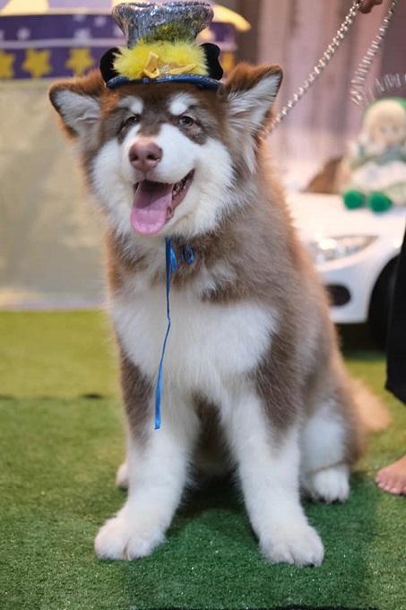 Chó Alaska nâu đỏ nhập khẩu Thái Lan