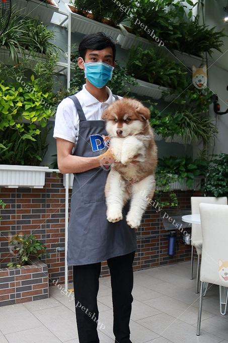 Giá chó Alaska tại Việt Nam hiện khá rẻ và phù hợp với điều kiện đa số người nuôi.