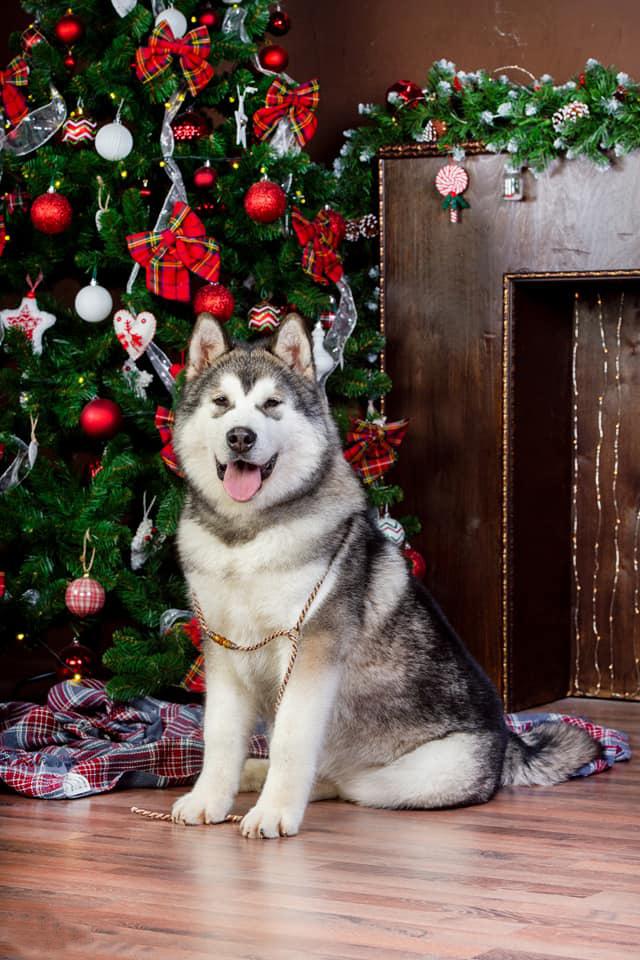 Giá chó Alaska nhập khẩu châu Âu thấp nhất từ 2.800 Usd trở lên.