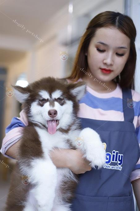 Một bé Alaska dòng Standard bán tại Dogily Pet Shop