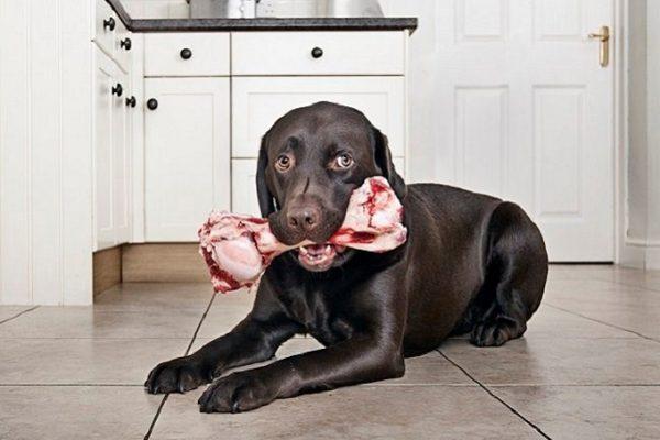 Chó gặm xương có an toàn không