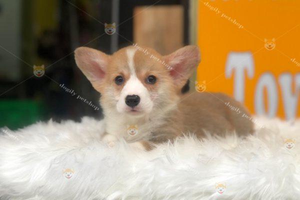 Chó Corgi nhỏ