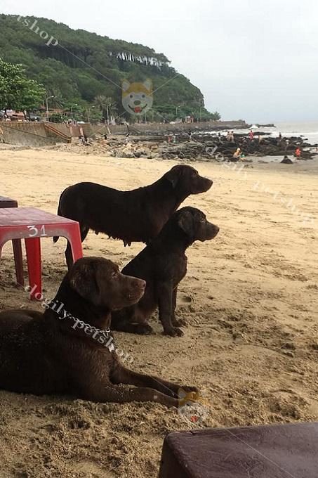 Bạn nên cho chó Lab chơi các trò chơi vận động thường xuyên, hay đi dã ngoại, tắm biển để giữ cơ thể thon gọn, săn chắc không bị bệnh béo phì,