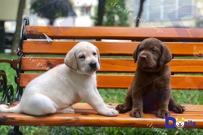 Bán chó Labrador màu nâu sô cô la và kem tại Dogily.
