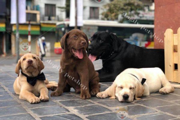 Chó Lab bố màu đen trưởng thành và đàn con đủ màu vàng kem, nâu và vàng đậm tại Dogily Pet Shop.