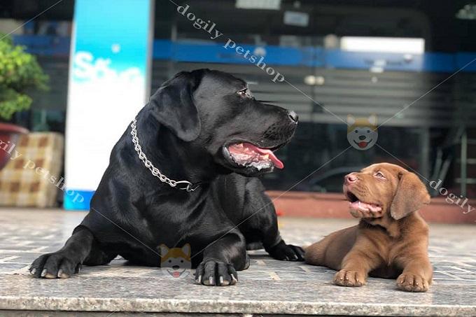 Giá chó Labrador trưởng thành và chó con không có nhiều sự chênh lệch.