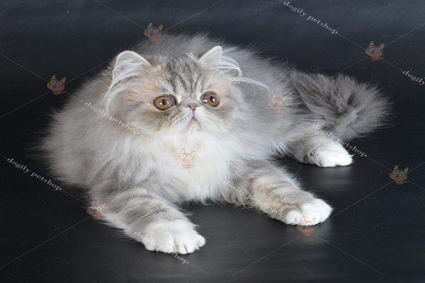 Cho mèo Ba Tư 34 ăn gì