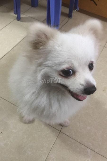 Một chú chó Phốc sóc lai giá rẻ được rao bán 500k trên Chợ Tốt.