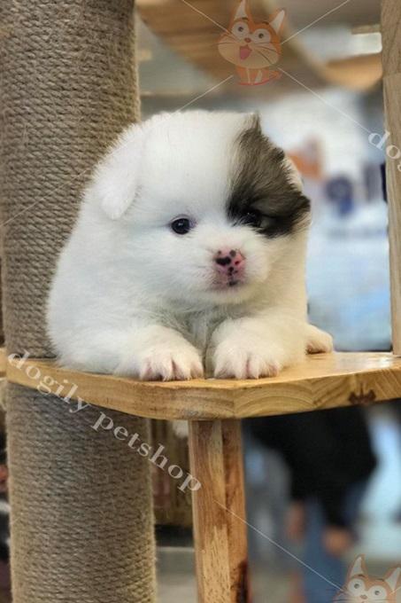 Một bé Phốc sóc 1, 5 tháng tuổi nhân giống tại trang trại Dogily Kennel.