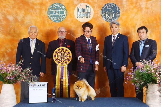 Chó Pomeranian có bố mẹ đạt giải Dogshow quốc gia, châu lục có giá lên đến vài chục ngàn usd 1 bé.