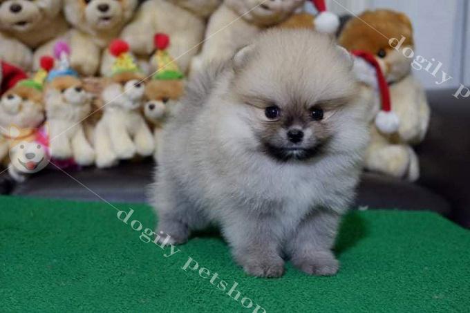 Chó Phốc sóc thuần chủng có giấy VKA khá hiếm. Giá thường cao gấp đôi so với chó Pom không giấy tờ.
