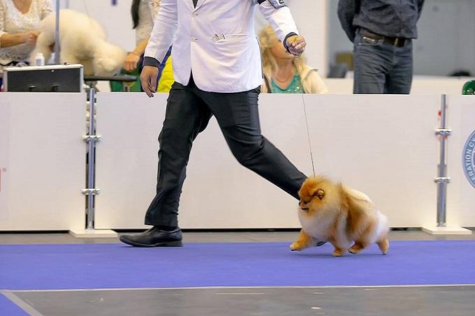 Chó Pomeranian bị hạ bàn, xương khớp gặp khó khăn trong việc di chuyển bình thường.