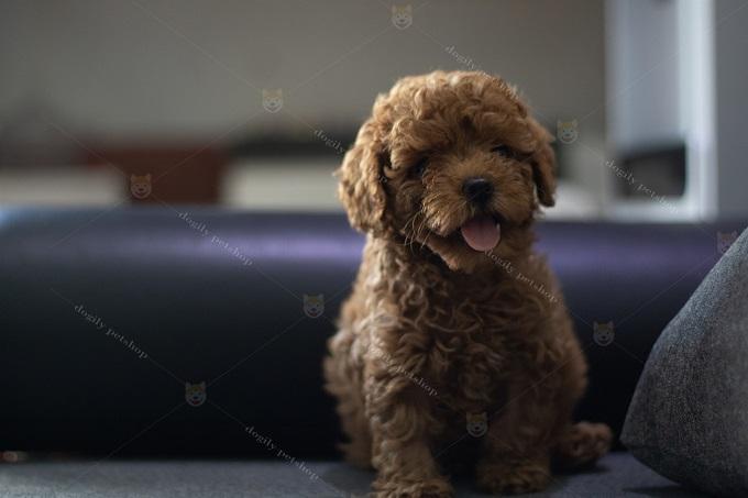 Poodle tiny 2 tháng tuổi màu socola nhạt.