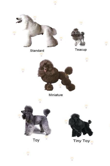 Poodle có nhiều size: Standard, miniature, toy-tiny, teacup.