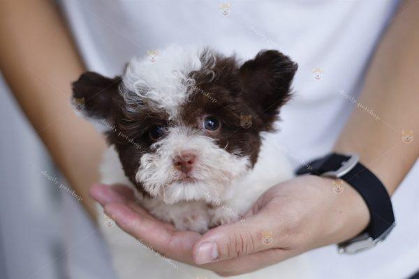 Ưu điểm của chó Poodle là không bị rụng lông và thân hình nhỏ gọn.