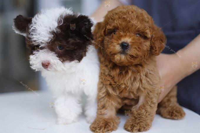 Hai bé Poodle màu nâu đỏ và bò sữa tai bướm size Teacup - Dogily Petshop.