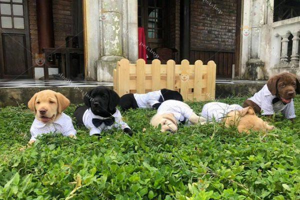 Đàn chó Lab 2 tháng tuổi sẵn sàng xuất bán tại Trang trại chó Labrador Retriever - Dogily Kennel Hà Nội.