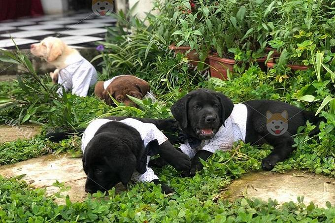 Bạn chỉ nên mua chó Labrador Retriever (lab) con từ 2 tháng tuổi trở lên.