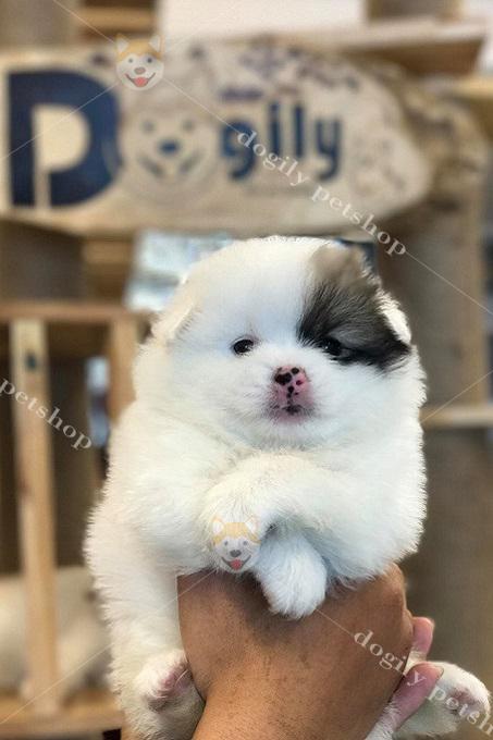 Chó Pomeranian có thể sống tốt trong điều kiện nhà chất ở chung cư, nhà phố tại các thành phố lớn.