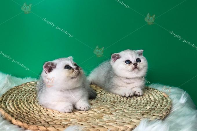 đôi mèo silver tai cụp mặt bánh bao