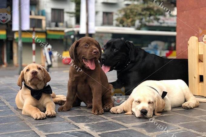 Tại Dogily, chúng tôi chỉ nhân giống và bán chó Labrador Retriever thuần chủng chất lượng, nên giá sẽ cao hơn chó Lab lai.