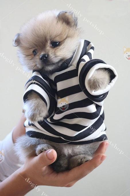 Giá chó Phốc sóc con thuần chủng tại Dogily Pet Shop từ 8 triệu đồng trở lên.