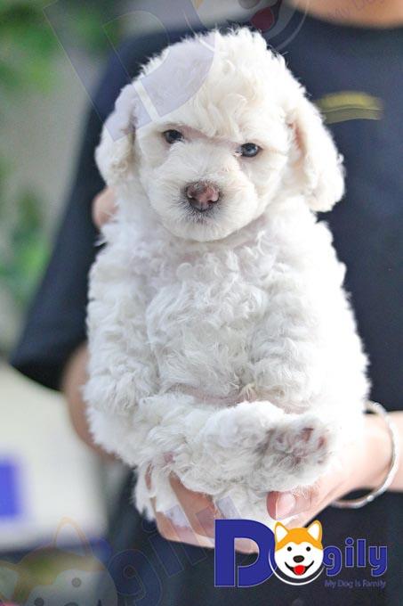 Một bé Poodle màu trắng tinh khiết sinh sản tại Việt Nam.