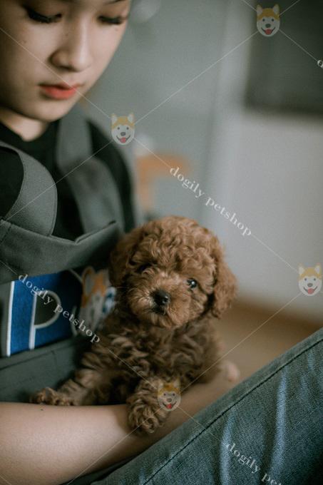 Giá chó Poodle Teacup màu nâu socola khá rẻ chỉ từ 10-12 triệu đồng 1 con.