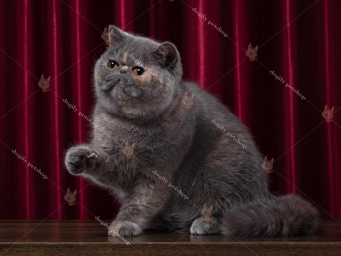 Giá mèo Ba Tư và nguồn gốc, xuất xứ.