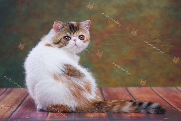 mèo Ba Tư lông ngắn exotic