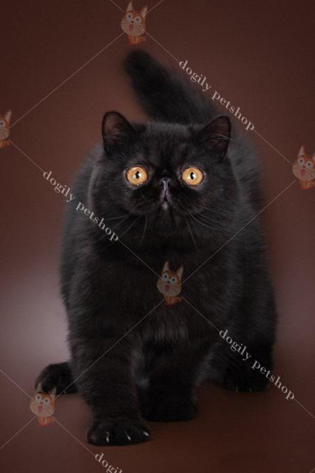 Mèo Exotic (Ba Tư lông ngắn) màu socola thuần chủng có giá từ 20-25 triệu đồng 1 con.