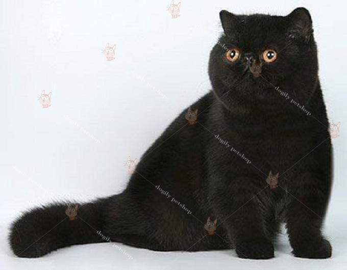 Chi phí làm giấy tờ cho mèo Ba Tư khá cao. Khoảng từ 12-15 tr cho 1 con.