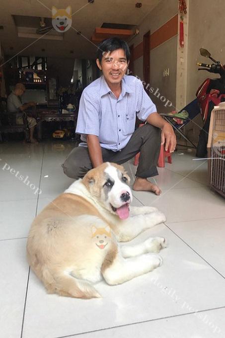 giao chó Alabai vện cho khách tại nhà