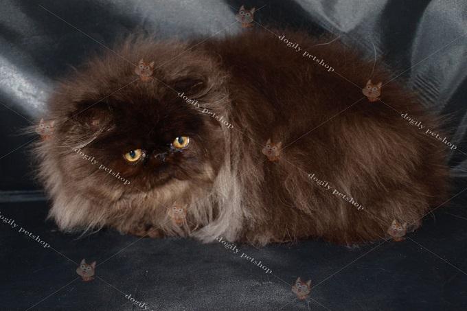 Mèo Ba Tư có kích cỡ trung bình so với hầu hết các giống mèo nhà khác.