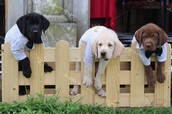 Giống chó Labrador cực thông minh xếp hạng thứ 7 trong thế giới loài chó.