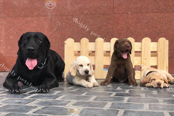 Labrador Retreiver có 3 màu lông đen, vàng kem và socola nâu.