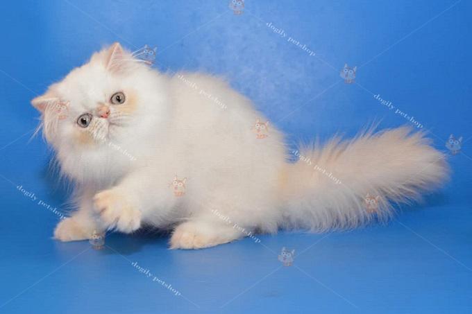 Mèo 34 2 tháng tuổi màu kem trắng sinh tại Việt Nam của Dogily Cattery.