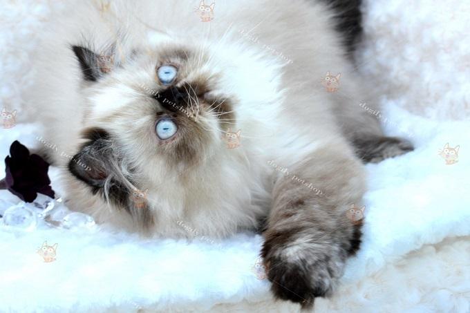 Mèo 34 rất quấn chủ và thích được vuốt ve, cưng nựng.