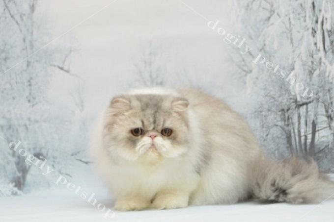 Một bé mèo Ba Tư nhập khẩu liên bang Nga khoảng 4 tháng tuổi.