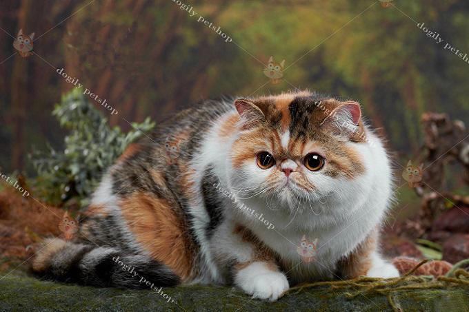 Nên chọn mua mèo Ba Tư thuần chủng, khỏe mạnh.