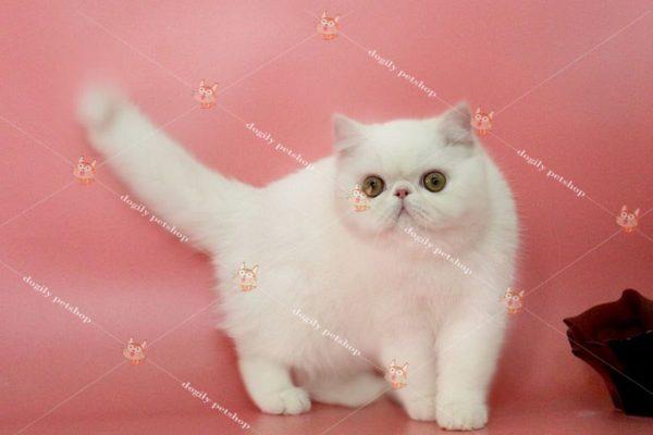 Bán mèo Exotic màu trắng nhập khẩu Nga 3 tháng tuổi tại Dogily Petshop.